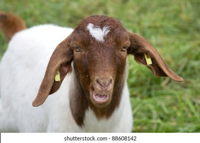 Portrait of a goat in a green meadow