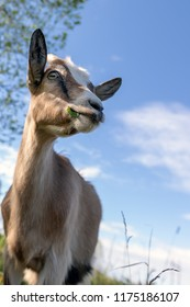 Portrait of a goat on the blue sky background
