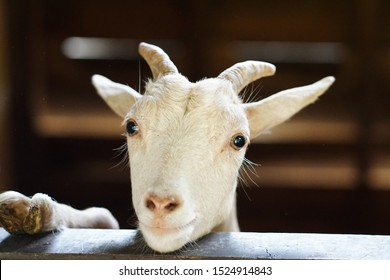 Portrait of a goat on the cage