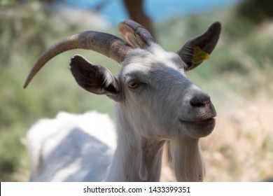 Portrait of a goat on a farm in a village in Italy. Beautiful goat posing