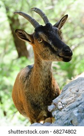 portrait of a goat on natural background