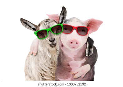 Portrait of a goat and a pig embracing each other in sunglasses isolated on white background