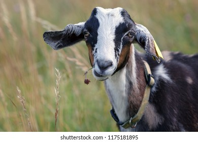 Portrait of  goatling in the meadow with a flower in the mouth