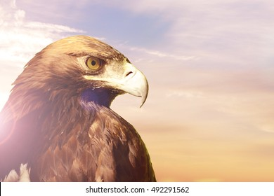 Portrait of Golden eagle (Aquila chrysaetos) on sunset sky background