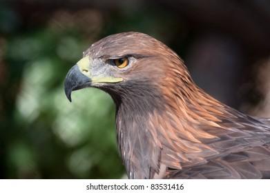 Portrait of an golden eagle - (Aquila chrysaetos)