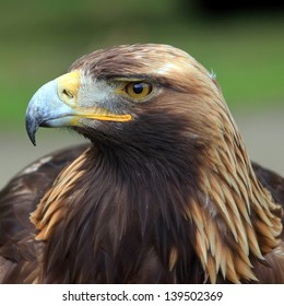 The portrait of Golden Eagle on the brown background