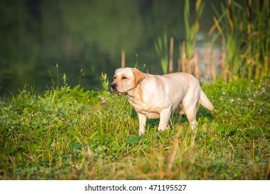 Portrait of the golden labrador dog