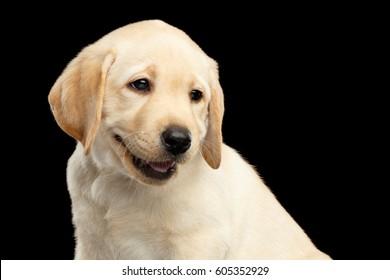 Portrait of Golden Labrador Retriever puppy funny smiling isolated on black background