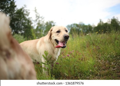 Portrait of golden labrador standing on green grass in the spring park, looking at camera