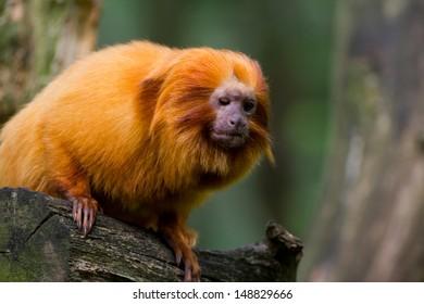 Portrait of a golden Lion tamarin