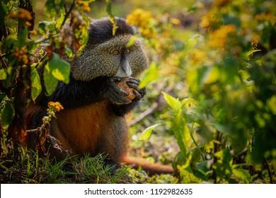 Portrait of a golden monkey eating leaves in Volcanoes Nation Park, Rwanda