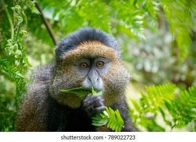 Portrait of a golden monkey eating leaves in Volcanoes National Park, Rwanda
