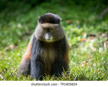 Portrait of a golden monkey with hands over its mouth in Volcanoes National Park, Rwanda