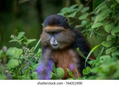 Portrait of a golden monkey in Volcanoes National Park, Rwanda