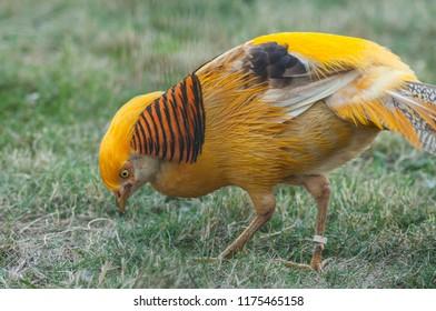 portrait of golden pheasant in a meadow