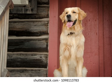 Portrait of a Golden Retriever