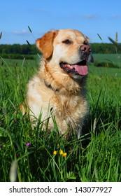 Portrait Golden Retriever