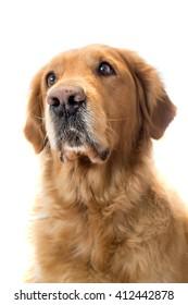 portrait of a golden retriever adult dog