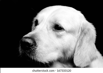Portrait Golden Retriever black/white