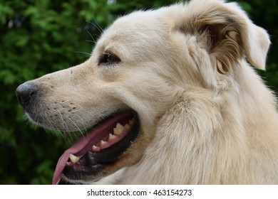 Portrait of a Golden Retriever dog.