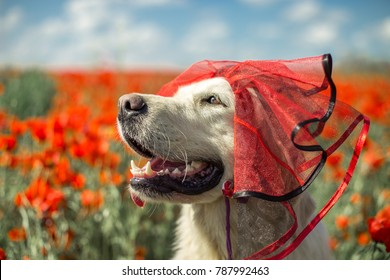 Portrait of golden retriever dog in a costume among the poppies.