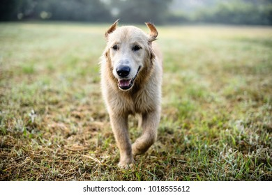 portrait of golden retriever dog in nature outdoor, woods and meadows during spring