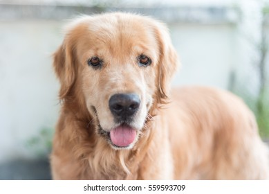 Portrait of golden retriever dog, shallow focus.