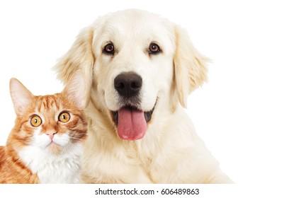portrait Golden retriever and ginger cat looking