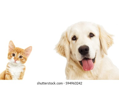 portrait Golden retriever And a kitten