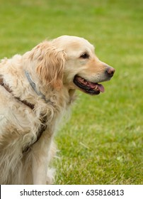 Portrait of golden retriever on green grass in a sunny day.