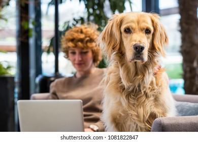 Portrait of golden retriever. Owner working in background
