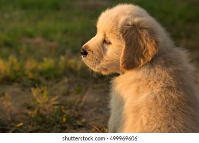 portrait of a golden retriever puppy at sunset
