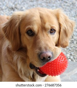 Portrait of a Golden Retriever with a red ball