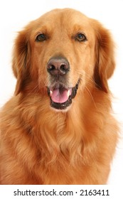 Portrait of a golden retriever shot in the studio