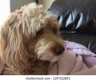 portrait of a goldendoodle dog