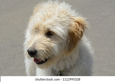 Portrait of goldendoodle dog or mixed breed poodle and golden retriever against gray sidewalk