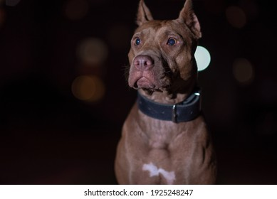 Portrait of a good young American Pit Bull Terrier at night.