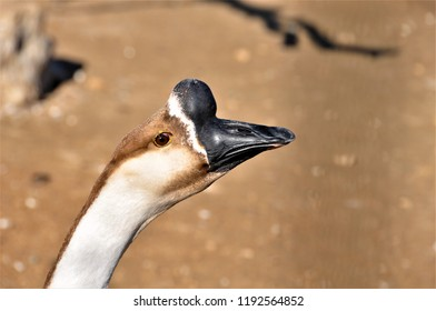 portrait of a goose bump or swan goose
