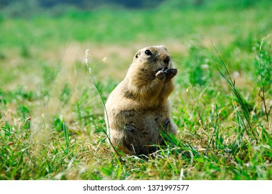 Portrait of a gopher