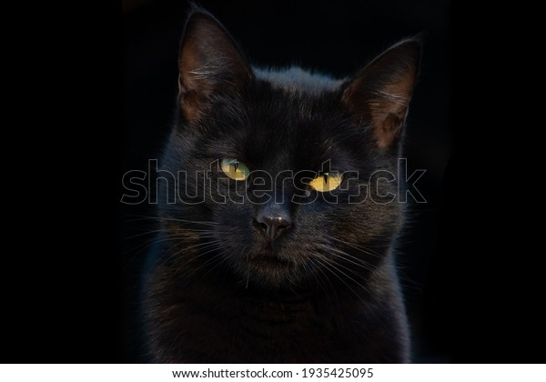 Portrait of a gorgeous black cat looking directly at the camera