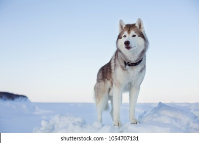 Portrait of gorgeous dog breed siberian husky standing on the ice floe in winter. Wise and free Husky topdog is enjoyng the view of endless frozen sea and snow forest.