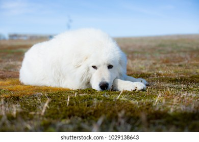 Portrait of gorgeous maremma sheepdog. Close-up of Big white fluffy dog lying on moss in the field on a sunny day