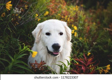 Portrait of gorgeous maremma sheepdog at sunset. Close-up of Big white fluffy dog breed maremmano abruzzese shepherd sitting in the bright flowers and grass in the forest in fall