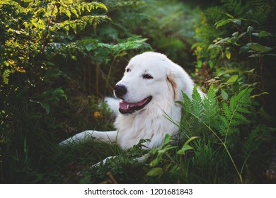 Portrait of gorgeous maremma sheepdog at sunset. Close-up of Big white fluffy dog breed maremmano abruzzese shepherd lying in the fern grass in the forest in autumn