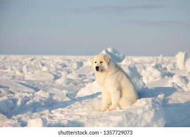 Portrait of gorgeous, prideful and free maremmano abruzzese dog on ice floe on the frozen Okhotsk sea background. Image of wise maremma dog is sitting on the snow. Big fluffy white dog