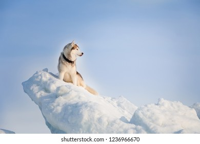 Portrait of gorgeous and prideful Siberian husky on ice floe on the frozen Okhotsk sea background. Image of Free and wise husky dog is sitting on the snow and looking afar.
