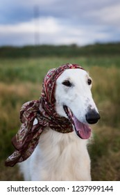 Portrait of gorgeous russian borzoi dog wearing scarf a la russe on her head in the field. Close-up image of cute beautiful dog breed russian wolfhound in the meadow in autumn