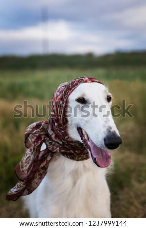 Portrait Of Gorgeous Russian Borzoi Dog Wearing Scarf A La Russe On Her Head In The Field Close Up Image Of Cute Beautiful Dog Breed Russian Wolfhound In