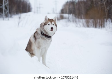 Portrait of gorgeous siberian husky dog sitting on the snow in winter forest on the slope and enjoying view of mountais. Husky topdog looks like a wolf