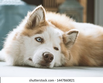 Portrait of gorgeous Siberian Husky dog. Husky with beautiful blue eyes. Husky lies on the floor and looks away. Selective focus on the eyes